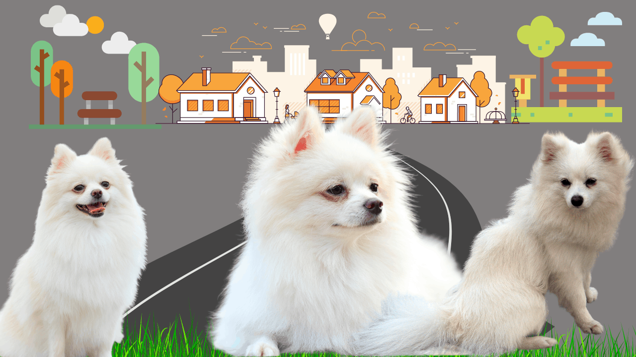 Are Japanese Spitz high maintenance