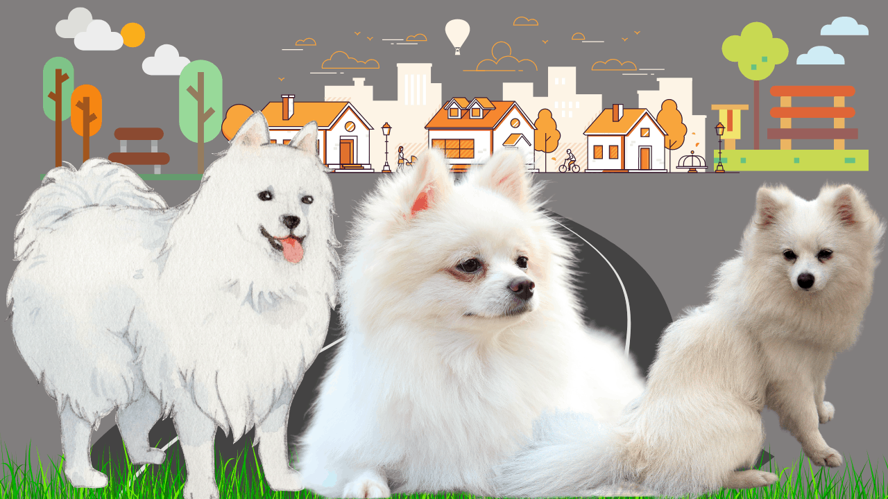 How can you tell if a Japanese Spitz is purebred