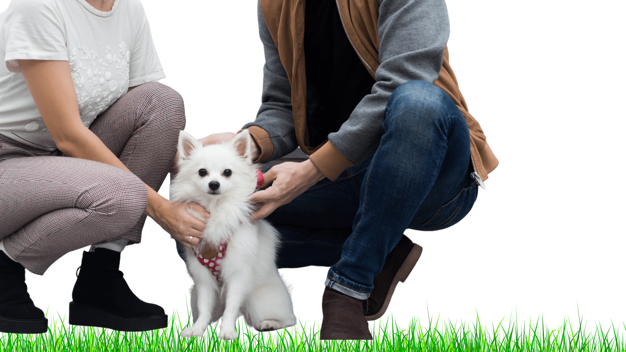 Are Japanese Spitz good family dogs