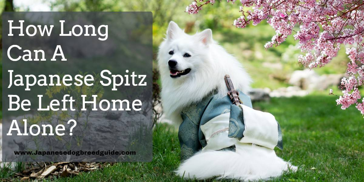 How Long Can A Japanese Spitz Be Left Home Alone?