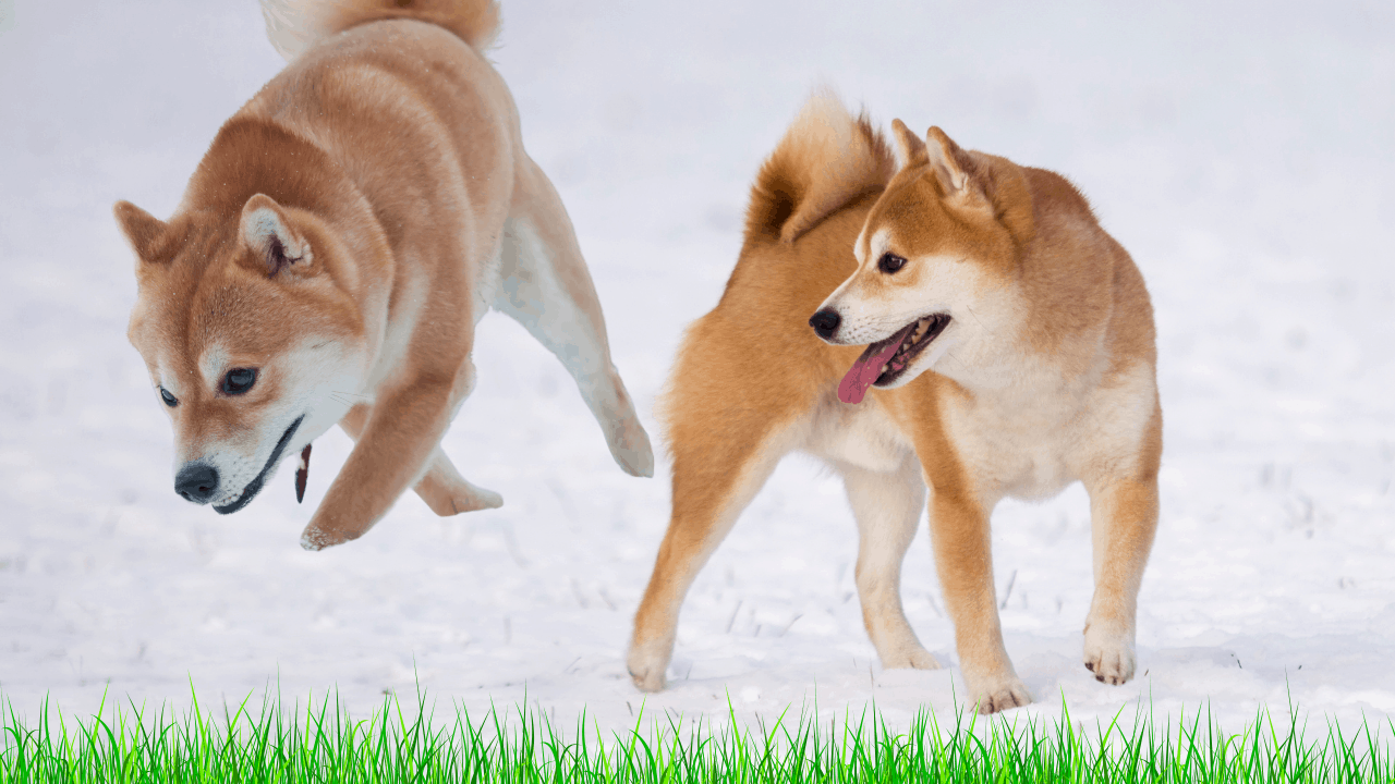 How Much Space Does A Shiba Inu Need?